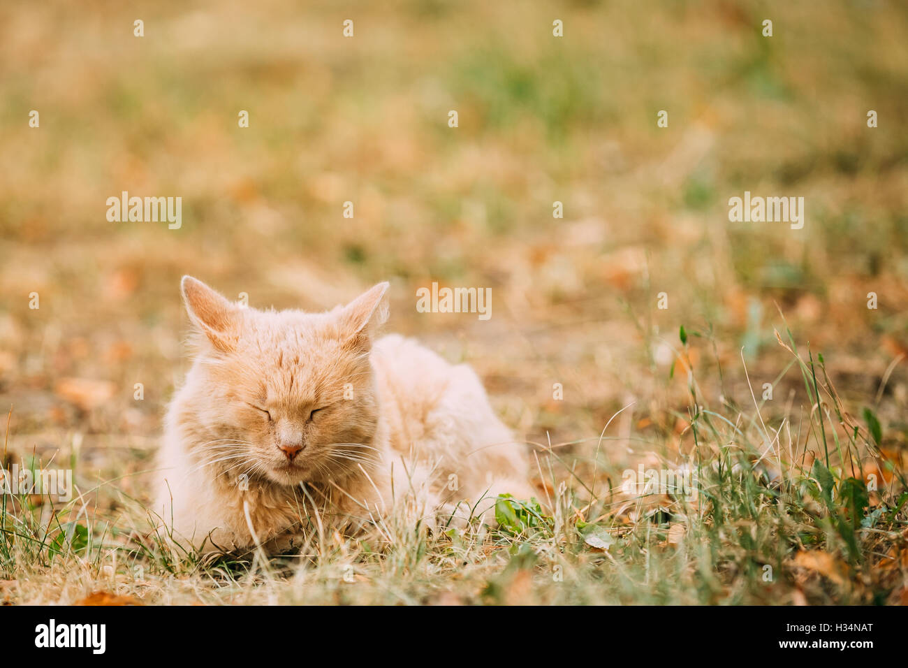 The Beige Peachy Mixed Breed Short-Haired Domestic Adult Cat, Sleeping Tucked Paws On The Yellowed Grass In The - Stock Image