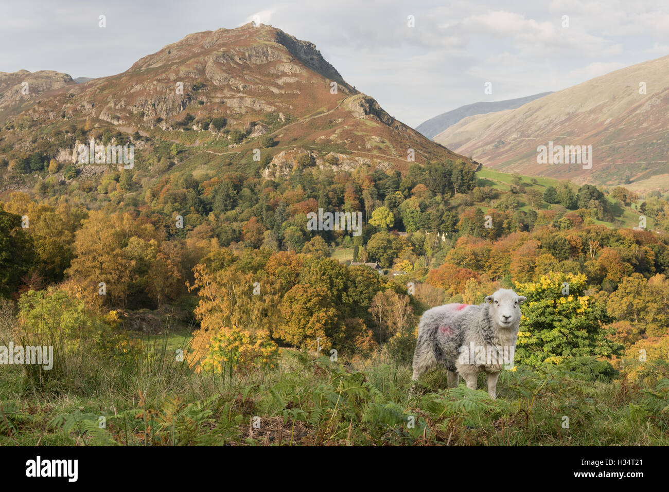 Herdwick sheep and Helm Crag near Grasmere in autumn, English Lake DIstrict national park, UK - Stock Image