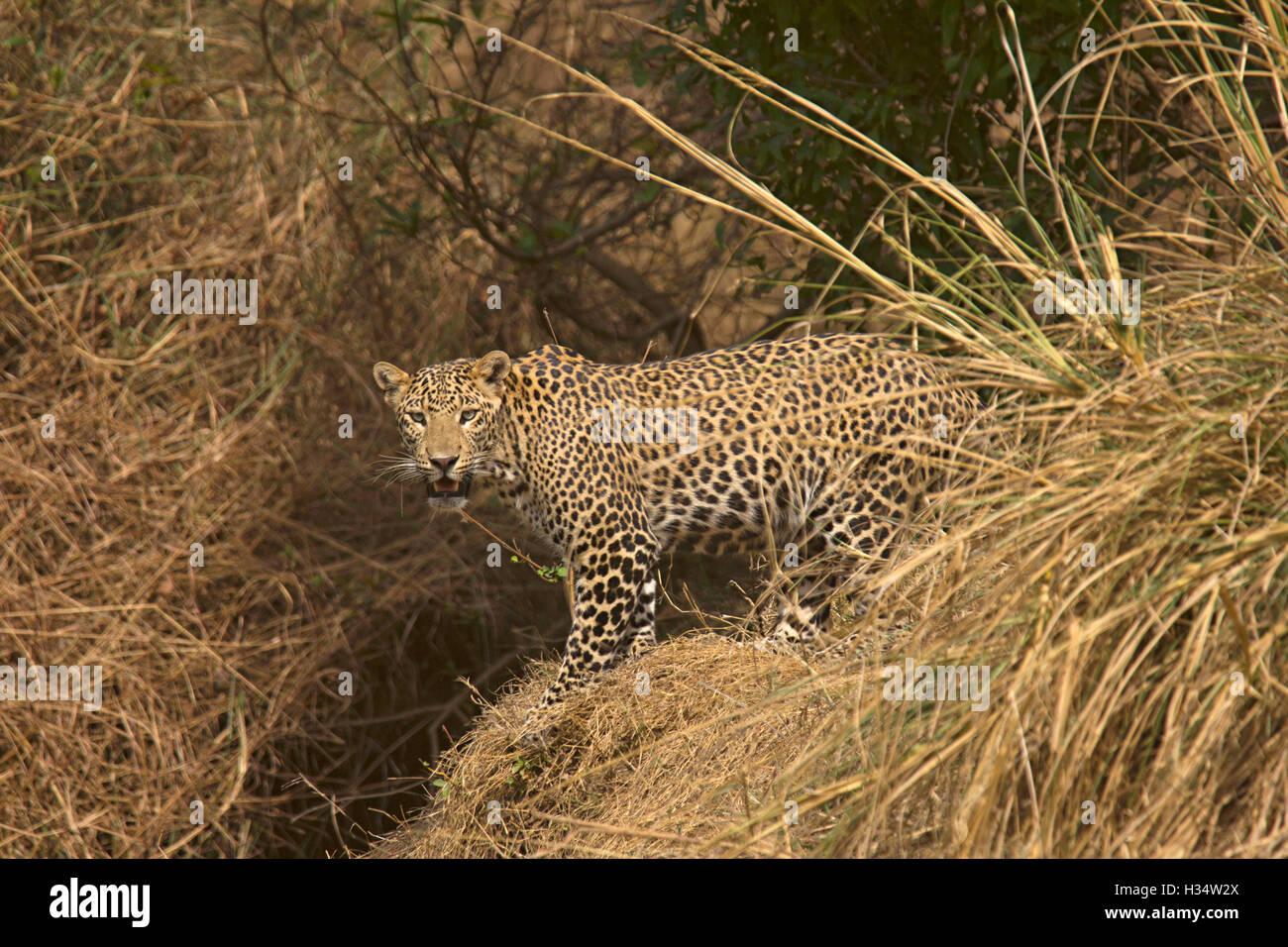 Indian Leopard, Panthera pardus fusca, Panna Tiger Reserve, Madhya Pradesh, India - Stock Image