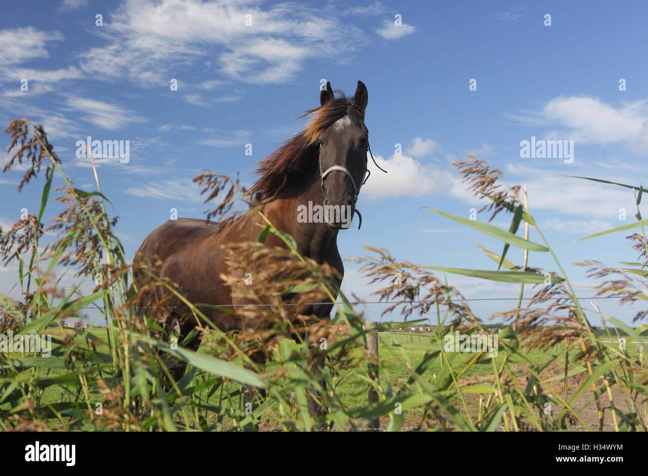 Beautiful Frisian stallion running free. - Stock Image