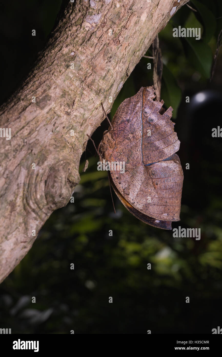 With wings closed, the leafwing butterfly bears a remarkable resemblance to a dead leaf. - Stock Image