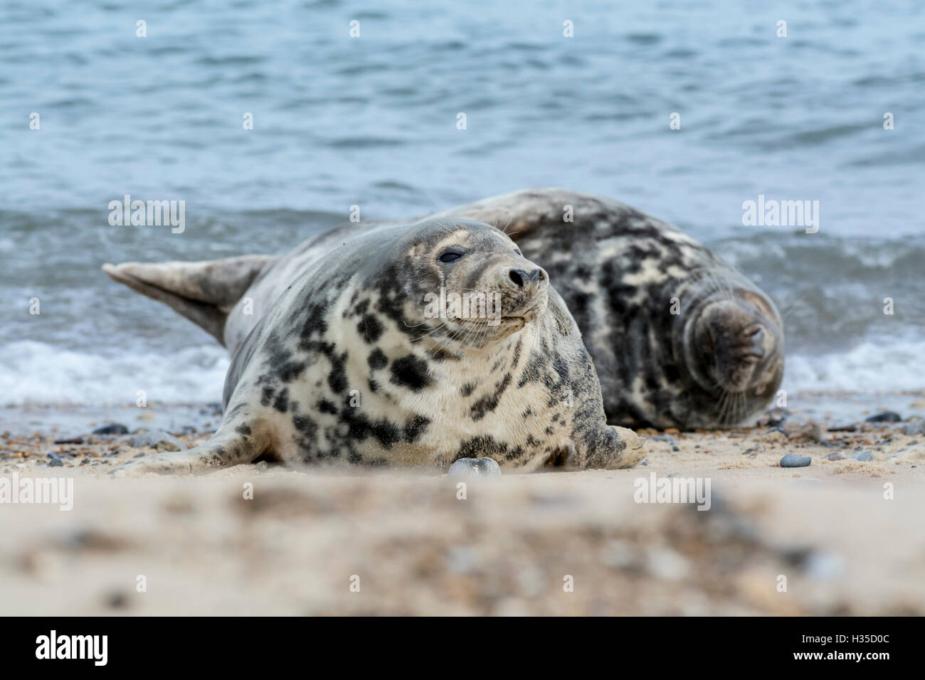Grey seal (Halichoerus grypus). Two individuals basking on the beach - Stock Image