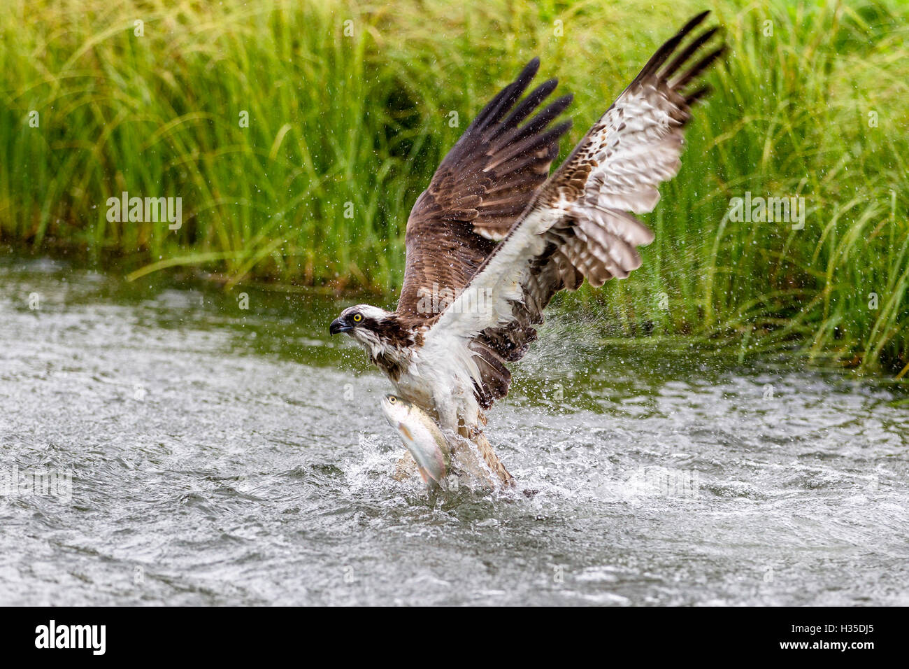 Osprey exiting a small pond with its huge wings extended to create the energy to lift with a large fish, Pirkanmaa, - Stock Image
