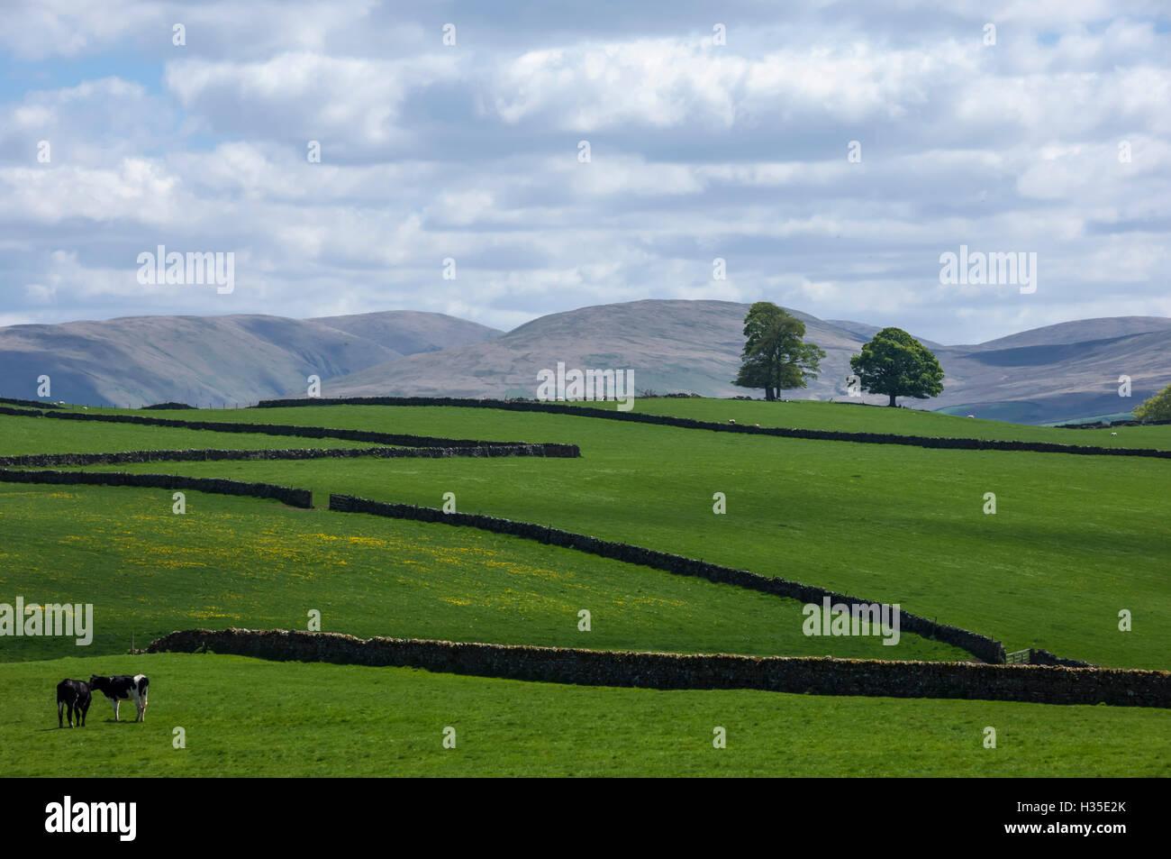 Dry stone walls, Eden Valley, Cumbria, England, UK - Stock Image