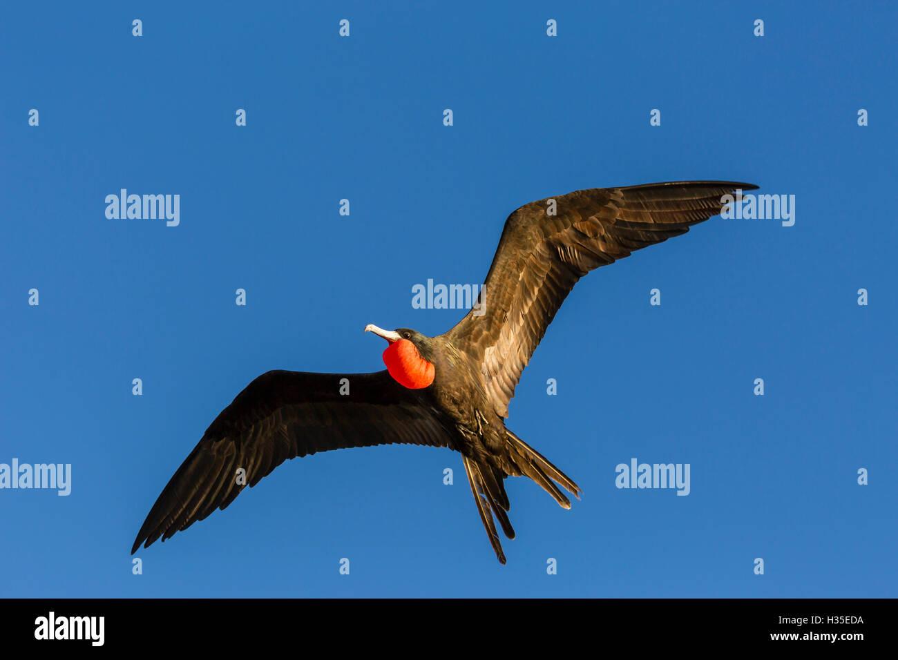 Adult male magnificent frigatebird (Fregata magnificens), San Gabriel Bay, Espiritu Santo Island, Baja California Stock Photo