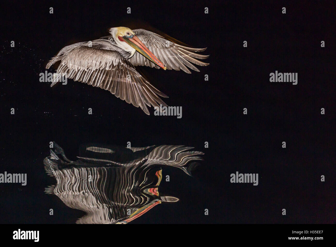 An adult brown pelican (Pelecanus occidentalis) at night near Isla Santa Catalina, Baja California Sur, Mexico - Stock Image