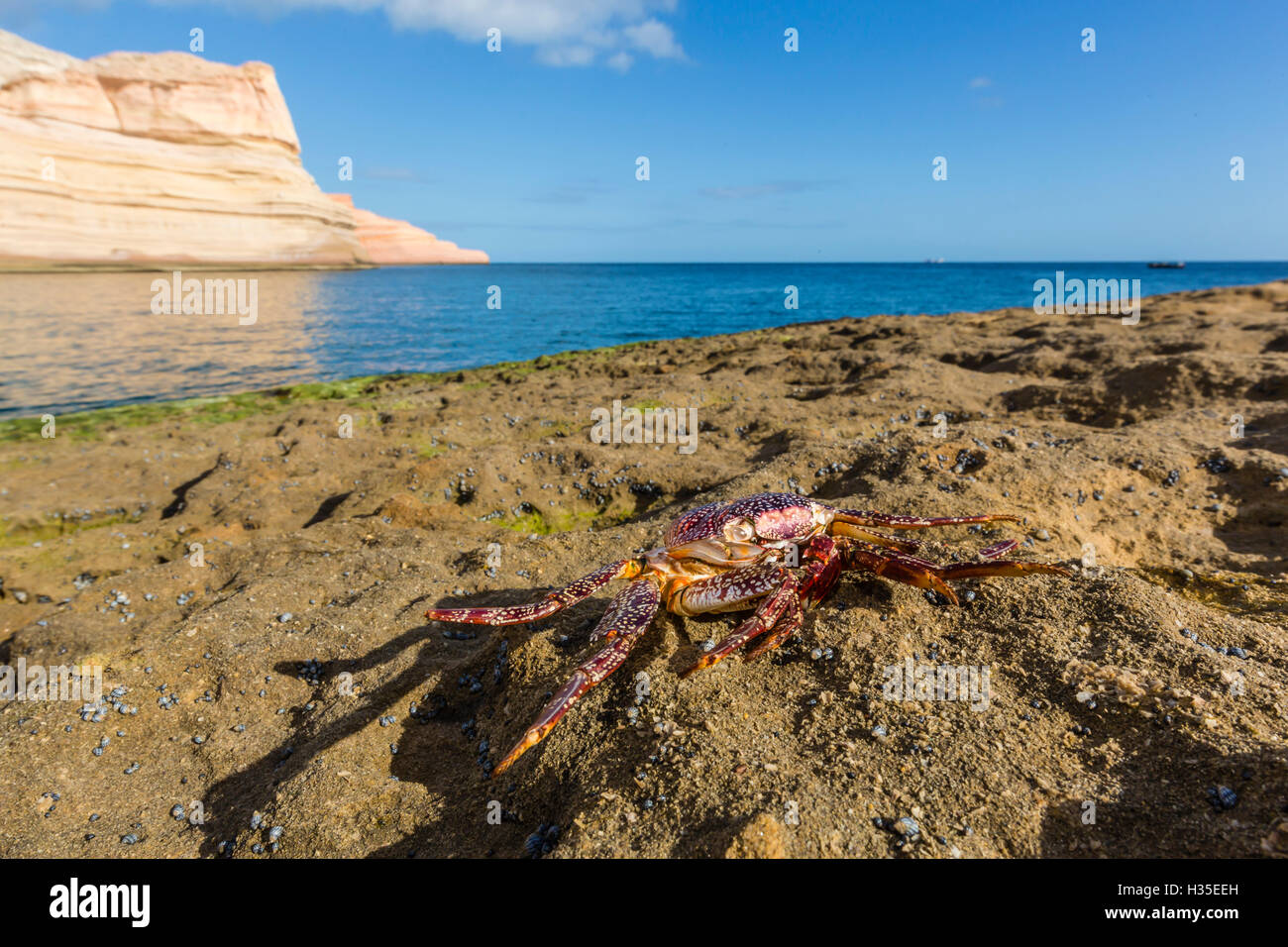 Sally lightfoot crab (Grapsus grapsus), moulted exoskeleton at Punta Colorado, Baja California Sur, Mexico - Stock Image