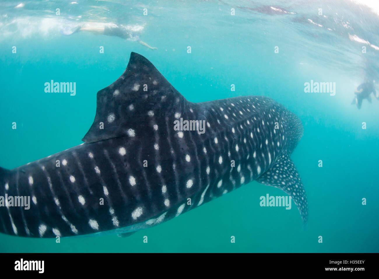 Whale shark (Rhincodon typus), underwater with snorkelers off El Mogote, near La Paz, Baja California Sur, Mexico - Stock Image