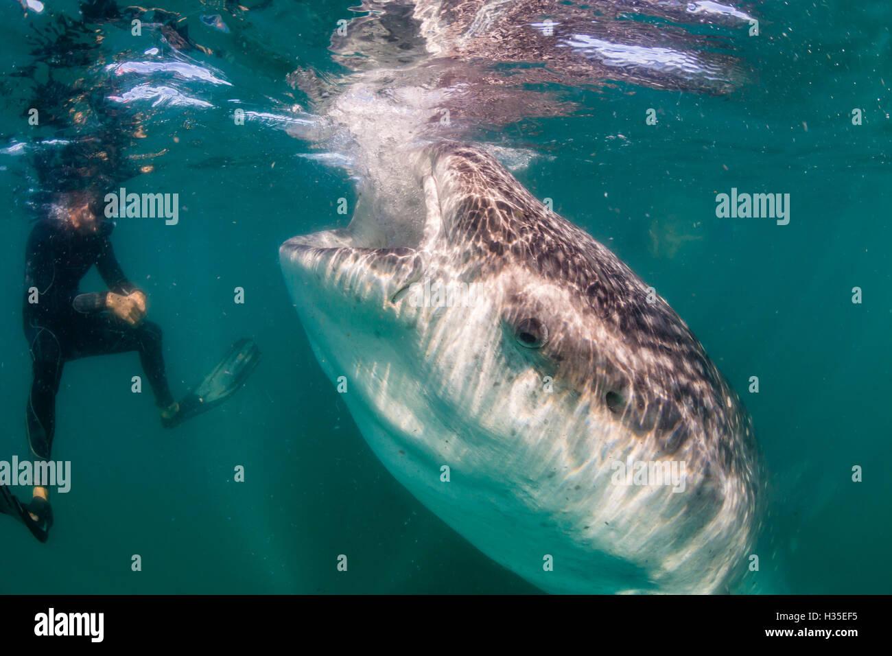 Whale shark (Rhincodon typus) underwater with snorkelers off El Mogote, near La Paz, Baja California Sur, Mexico - Stock Image
