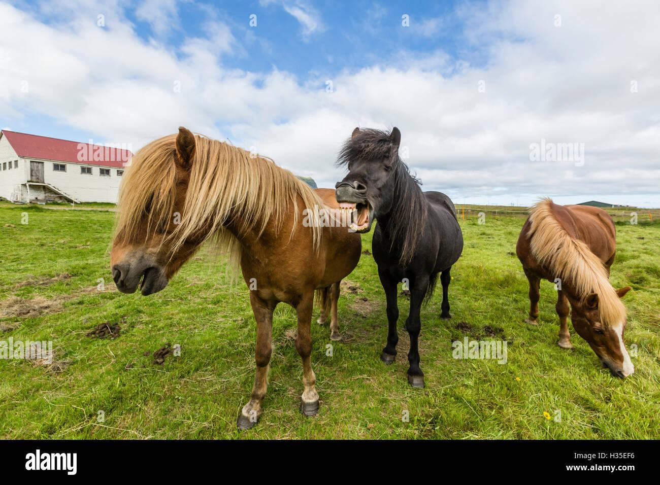 Adult Icelandic horses (Equus ferus caballus), on a farm on the Snaefellsnes Peninsula, Iceland, Polar Regions - Stock Image