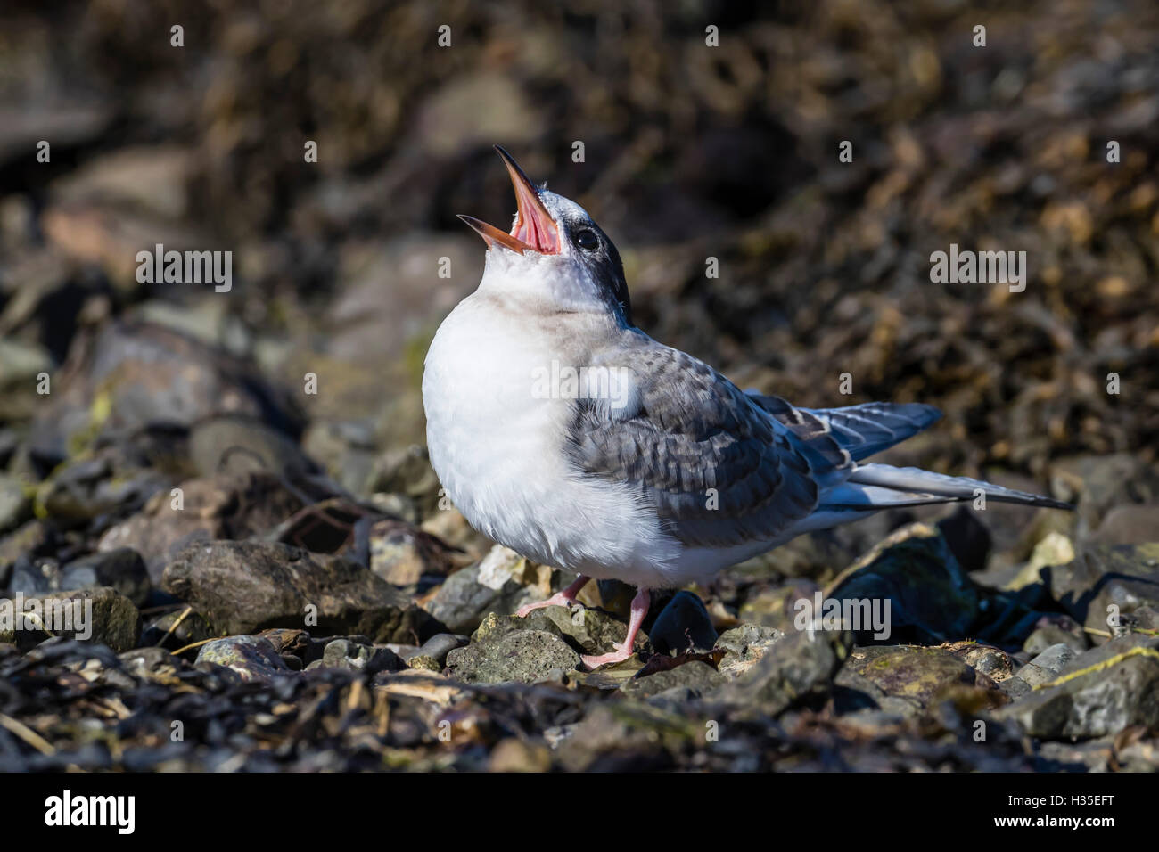 Arctic tern chick (Sterna paradisaea), calling for food from its parent on Flatey Island, Iceland, Polar Regions - Stock Image