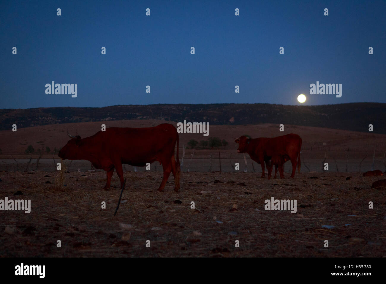 Andalusia, Spain. A general view of cows in the field with a full moon. Pako Mera - Stock Image