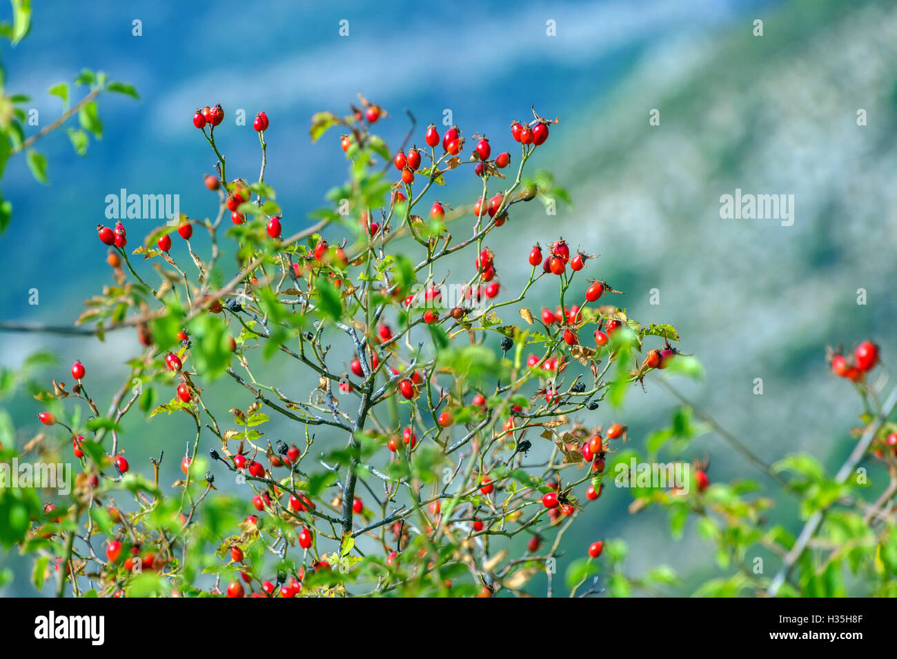 Red rosehips, autumn colours colors  with blue background - Stock Image