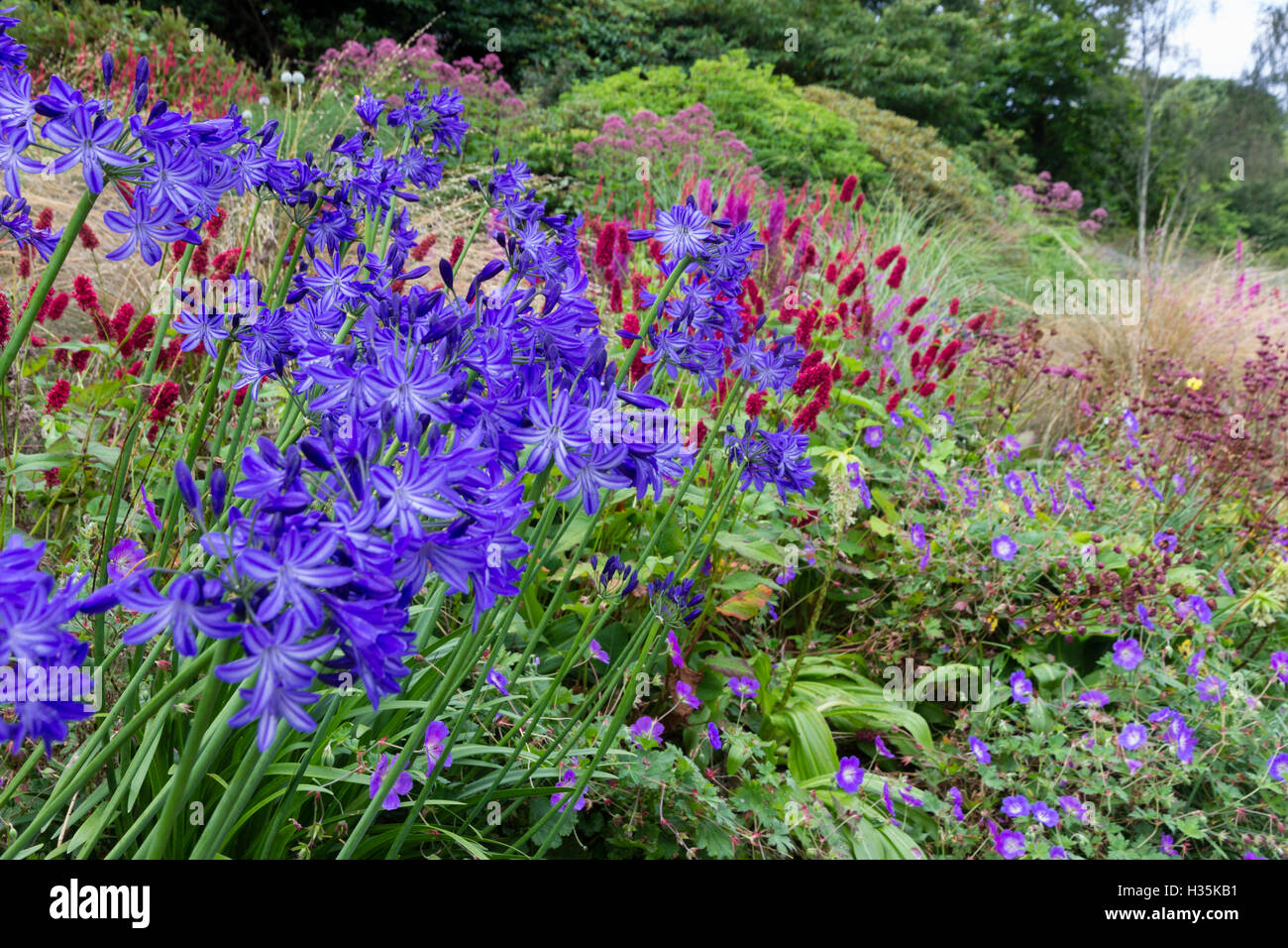 Pale and dark blue striped flowers of the African lily, Agapanthus 'Midnight Star' dominate the view of - Stock Image