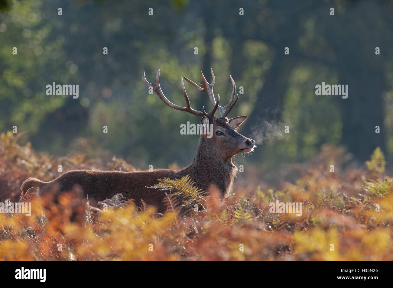 Red Deer-(Stag) Cervus elaphus with vapour from mouth during the rutting season. Uk - Stock Image