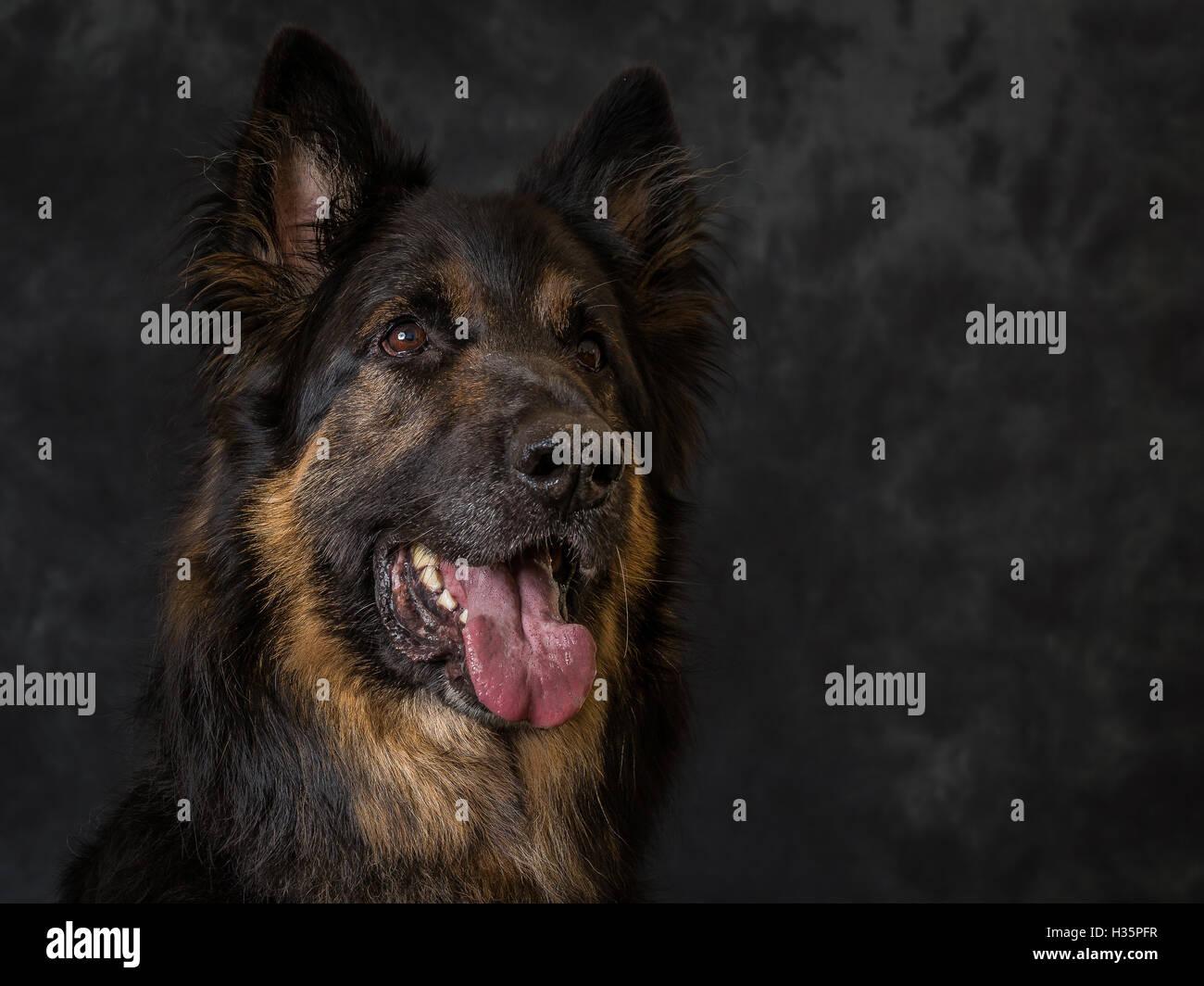 Bart The German Shepherd On Grey Background - Stock Image