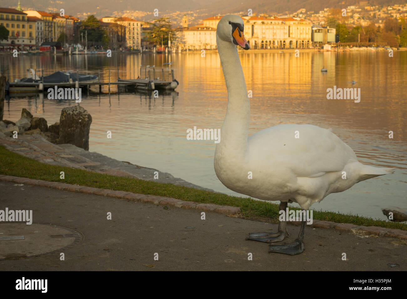 Swans on the lakeside promenade, at sunset, in Lugano, Ticino, Switzerland Stock Photo