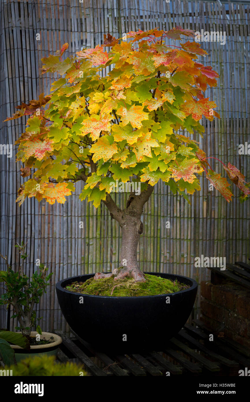 Bonsai Sycamore Tree High Resolution Stock Photography And Images Alamy