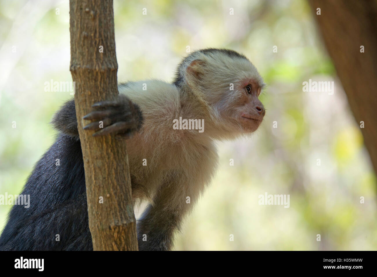White-headed capuchin (Cebus capucinus) monkey in the jungle of Costa Rica Stock Photo