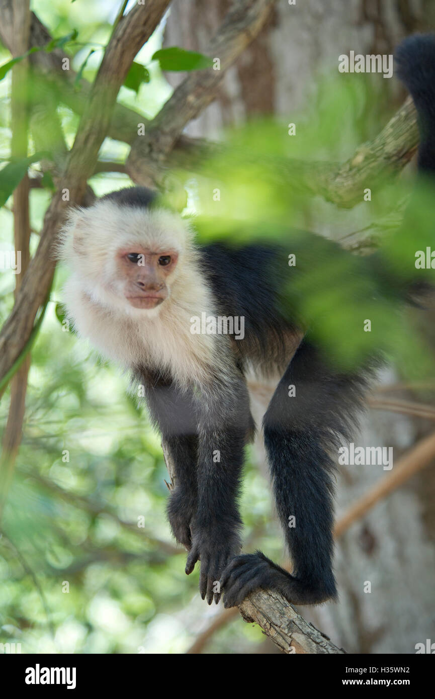 White-headed capuchin (Cebus capucinus) monkey in the jungle of Costa Rica Stock Photo