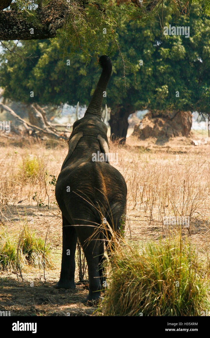 Young elephant, Loxodonta africana reaching up with trunk to get at green leaves. Mana Pools National Park. Zimbabwe - Stock Image