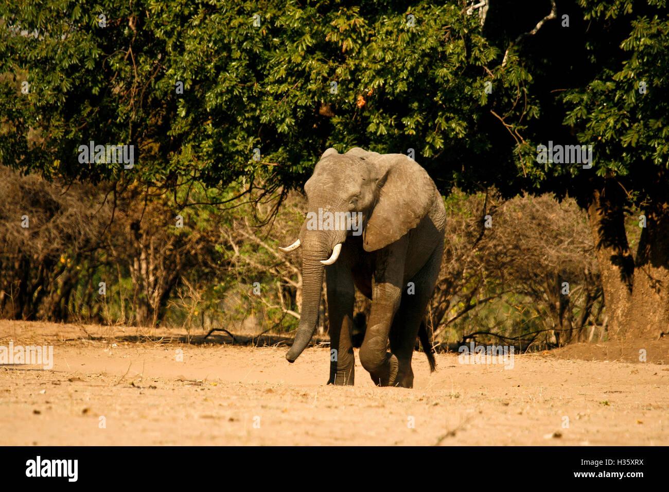 Elephant, Loxodonta africana. Mana Pools National Park. Zimbabwe - Stock Image