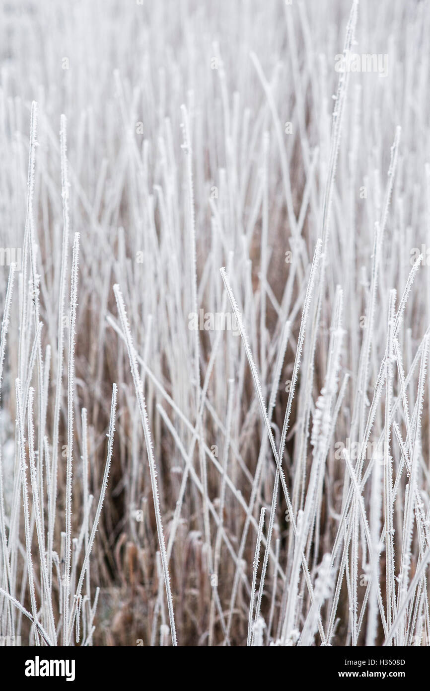 Thick frost covers dead plants and leaves in the milddle of winter in a british hedgerow. - Stock Image