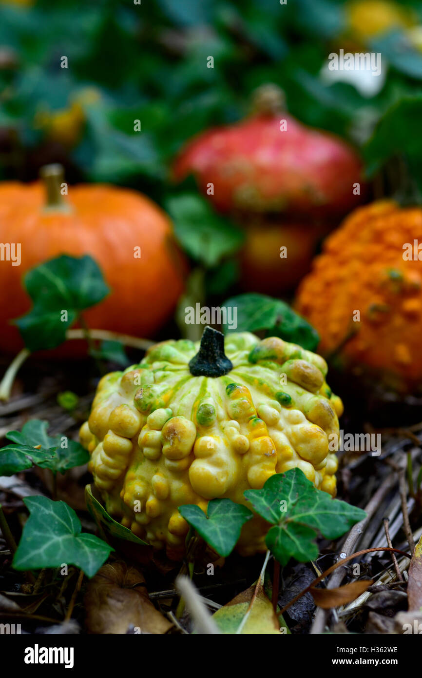 closeup of some different pumpkins in the garden or in the woods surrounded by ivy leaves - Stock Image