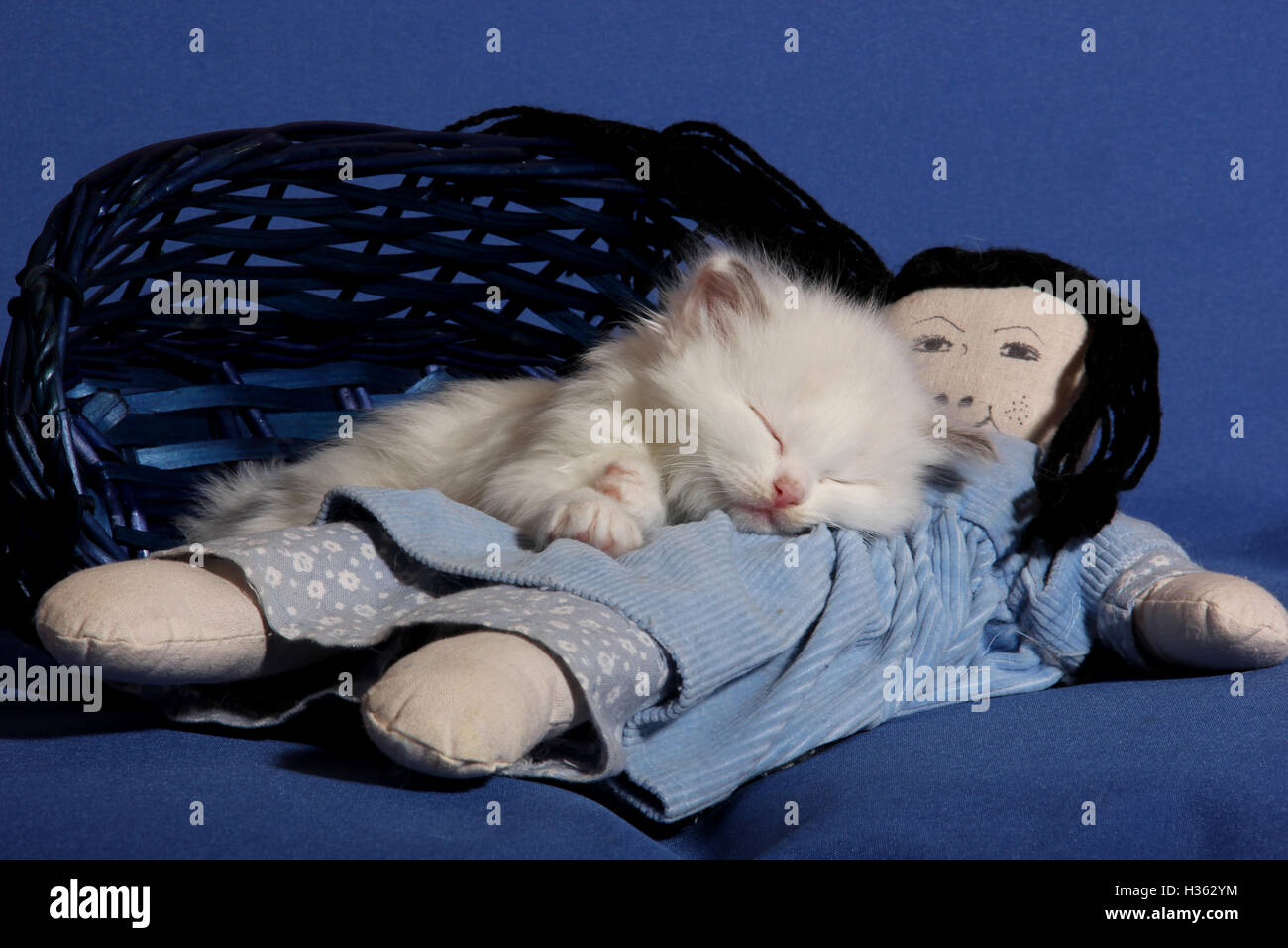 ragdoll kitten, 5 weeks old, sleeping on a doll, cat naps - Stock Image