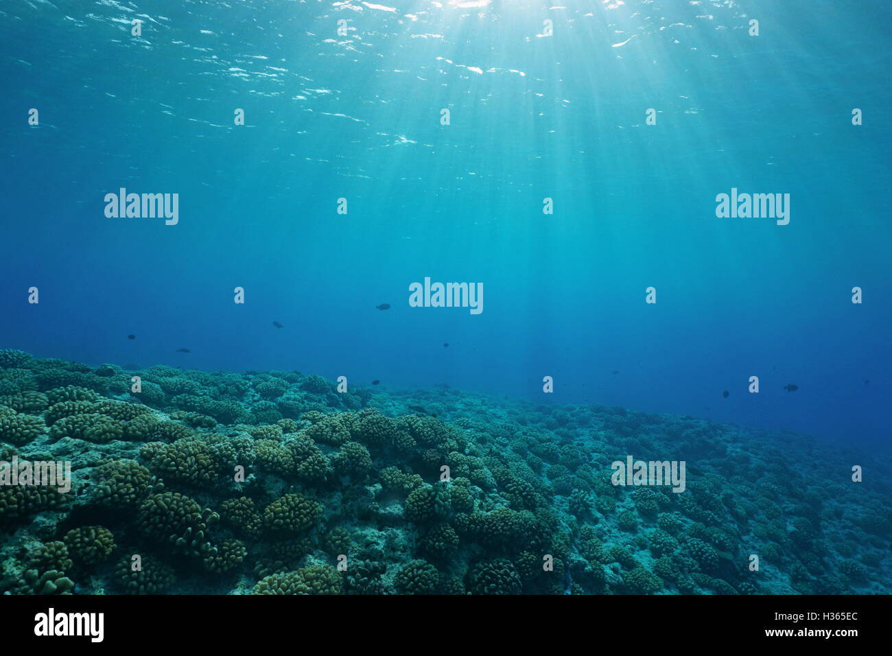 Underwater coral reef ocean floor with sunlight through water surface, natural scene, fore reef of Huahine island, - Stock Image
