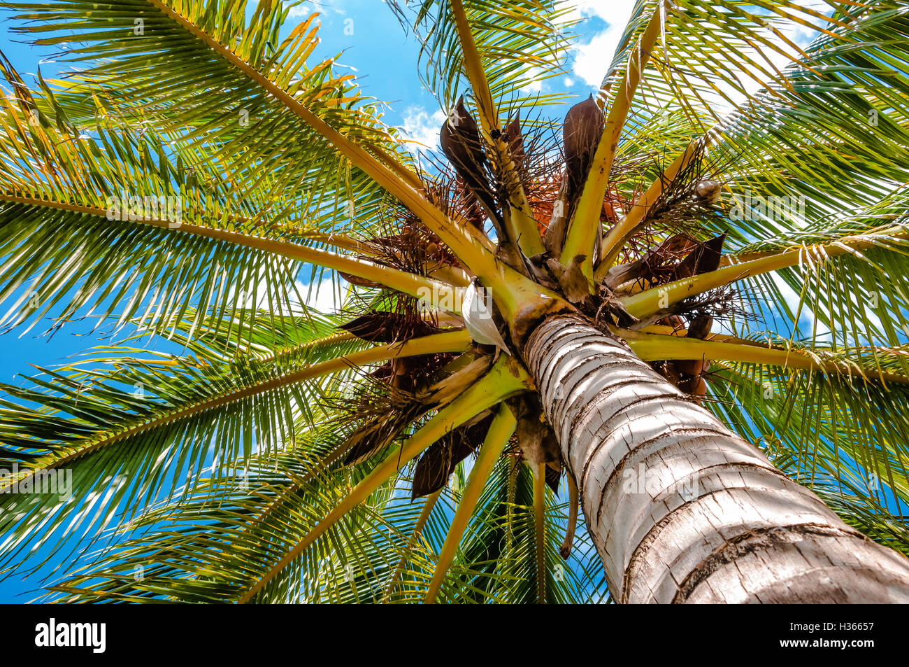 Palm tree viewed from below upwards high above - Stock Image