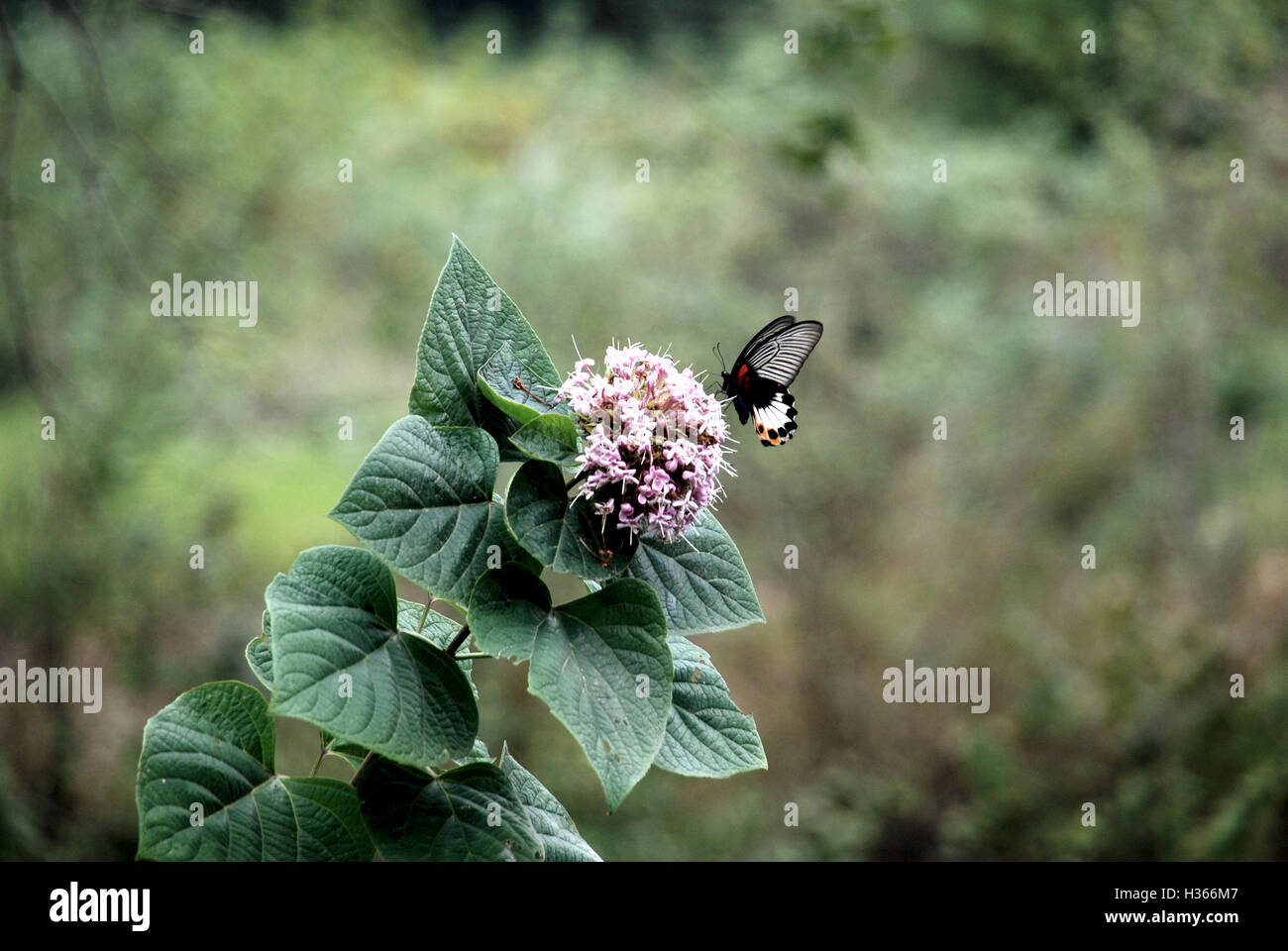 A native species of butterfly pollinates a pink flower typical of the flora found around the Yulong River in Guangxi, - Stock Image