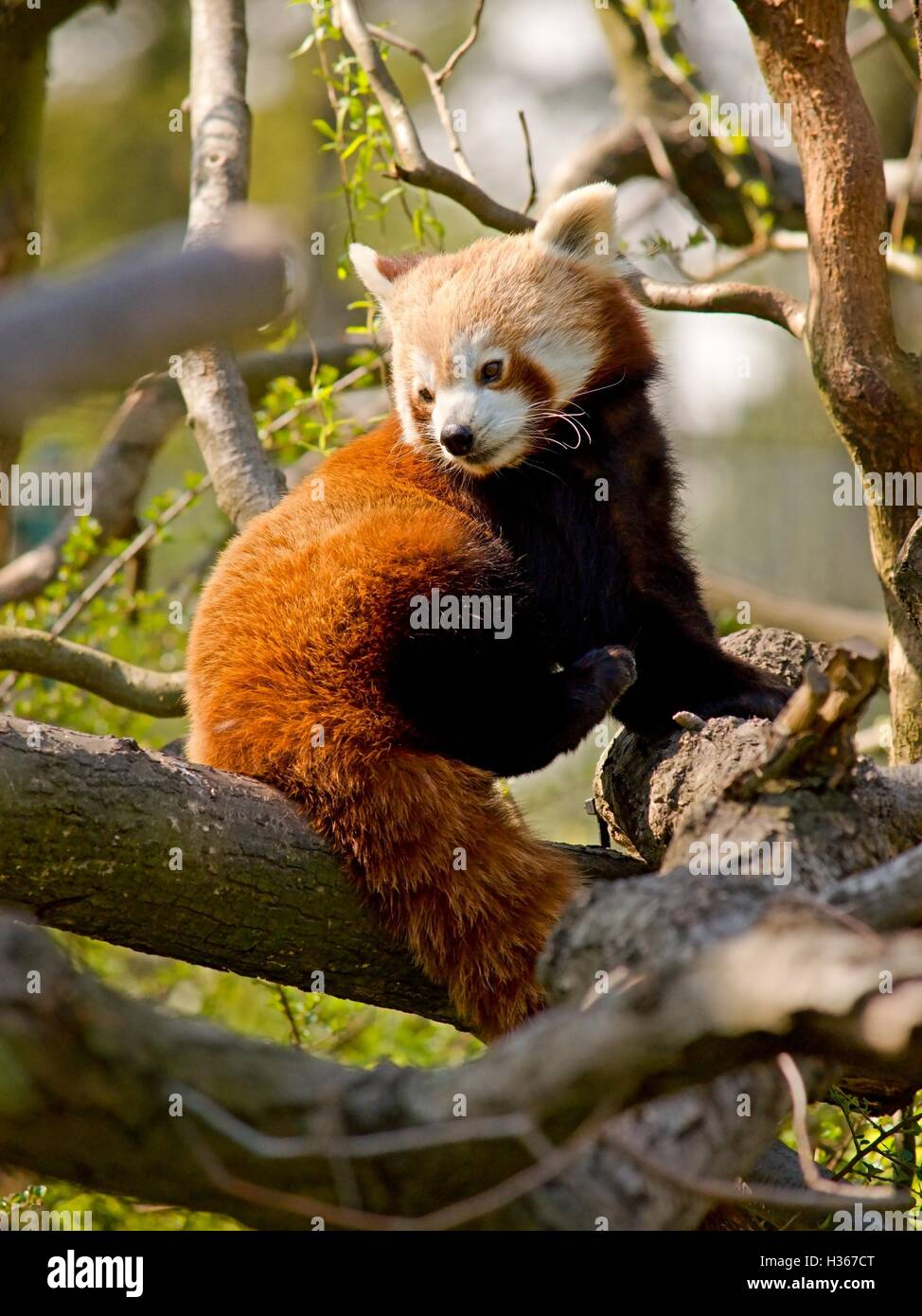 Cute red panda is sitting in the branches - Stock Image