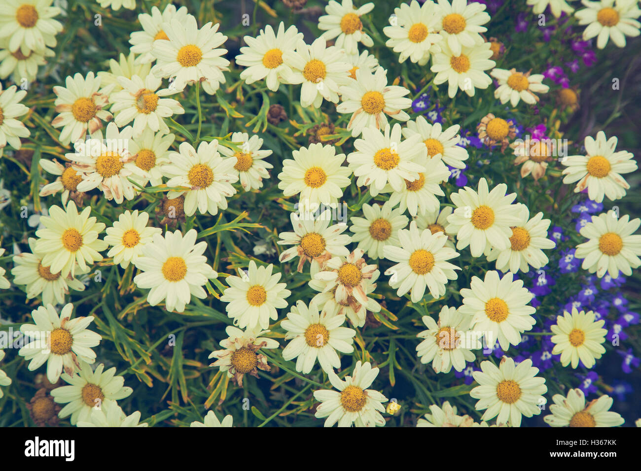 Close up of daisies with vintage tones added - Stock Image