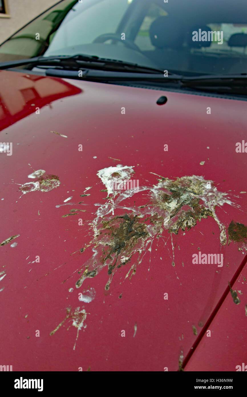 Bird droppings on car bonnet. - Stock Image