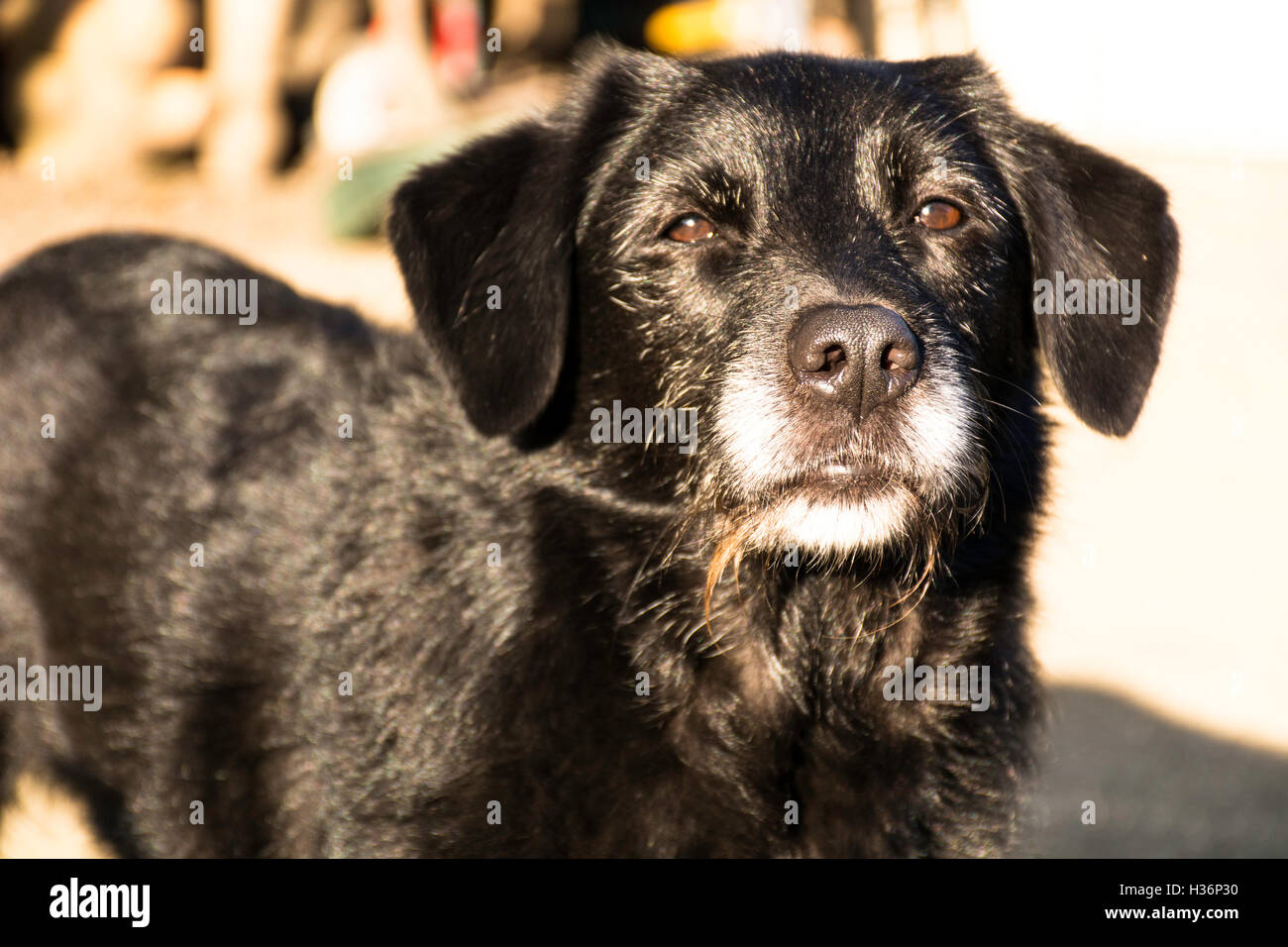 old family dog looking straight at camera - Stock Image