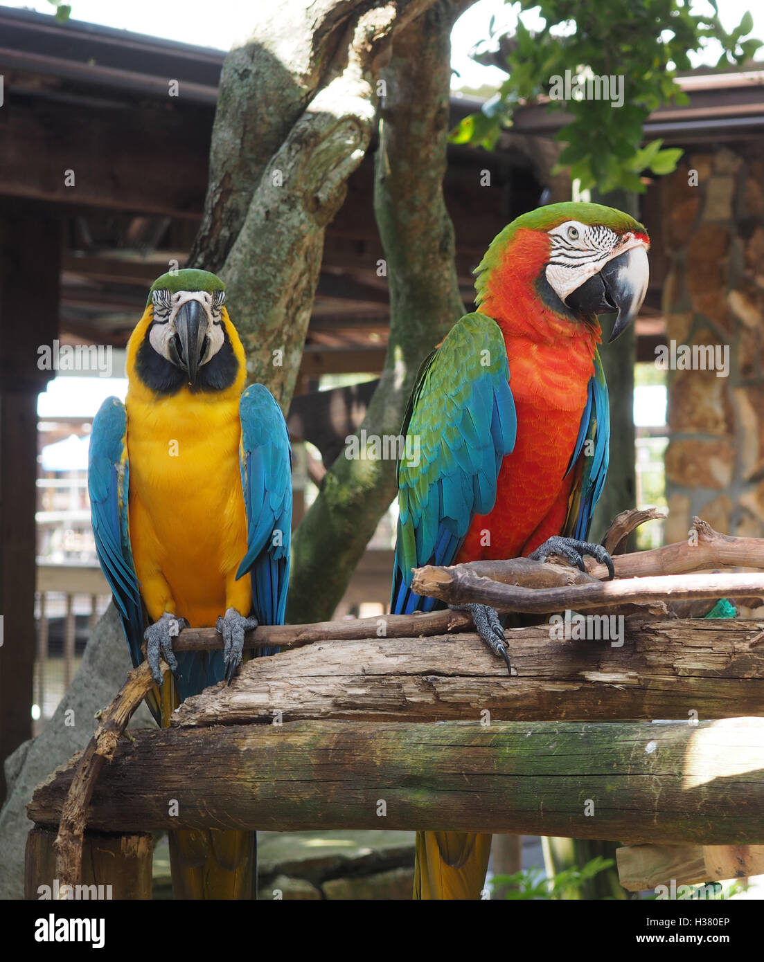 two bright colored macaw parrots perched on a tree limb - Stock Image