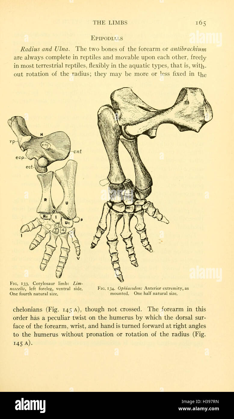 Osteology Reptiles Page Bhl59 Stock Photos & Osteology Reptiles Page ...