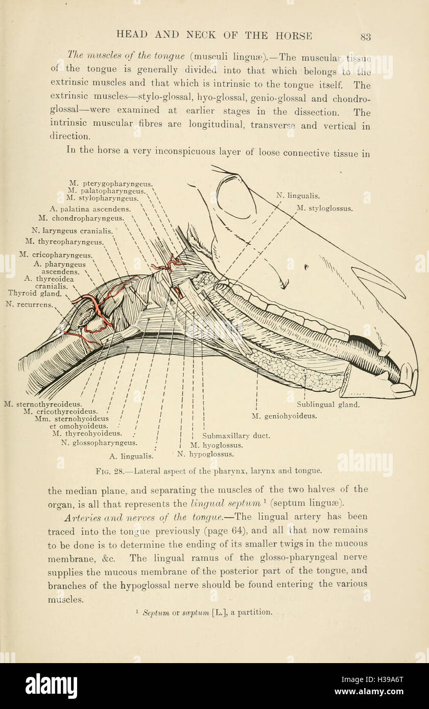 The Topographical Anatomy Of The Head And Neck Of The Horse Page 83