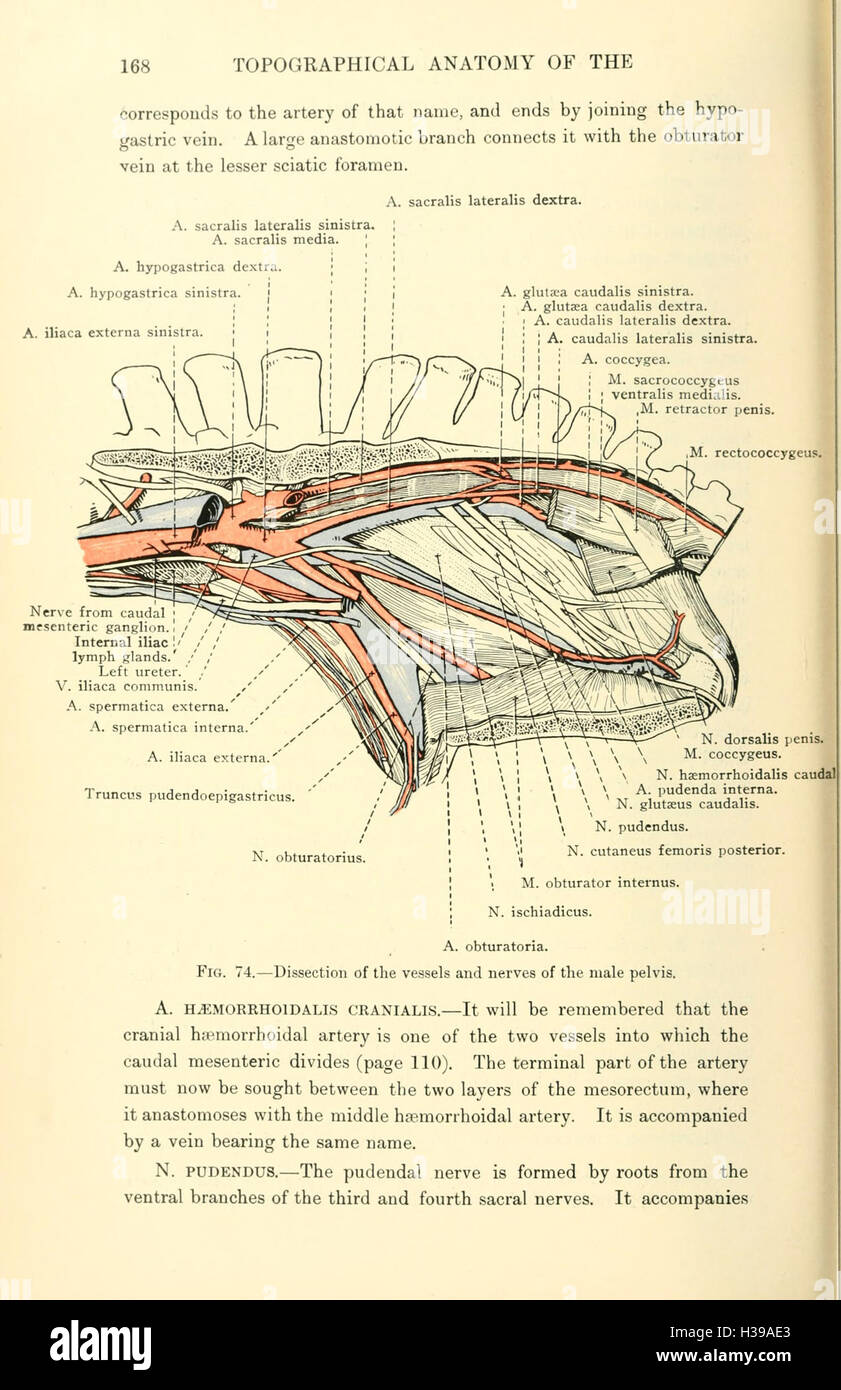 The topographical anatomy of the thorax and abdomen of the horse ...