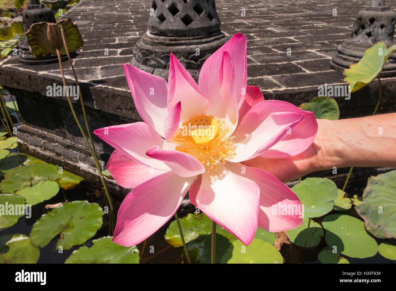Hand Holding Lotus Flower Stock Photos Hand Holding Lotus Flower