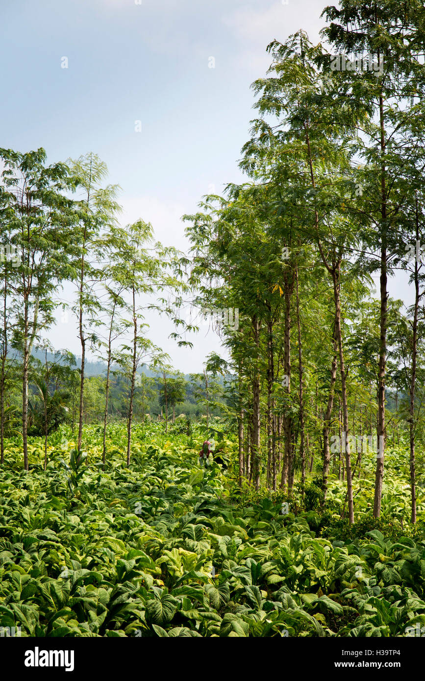 Indonesia, Lombok, Agriculture, tobacco growing in field - Stock Image