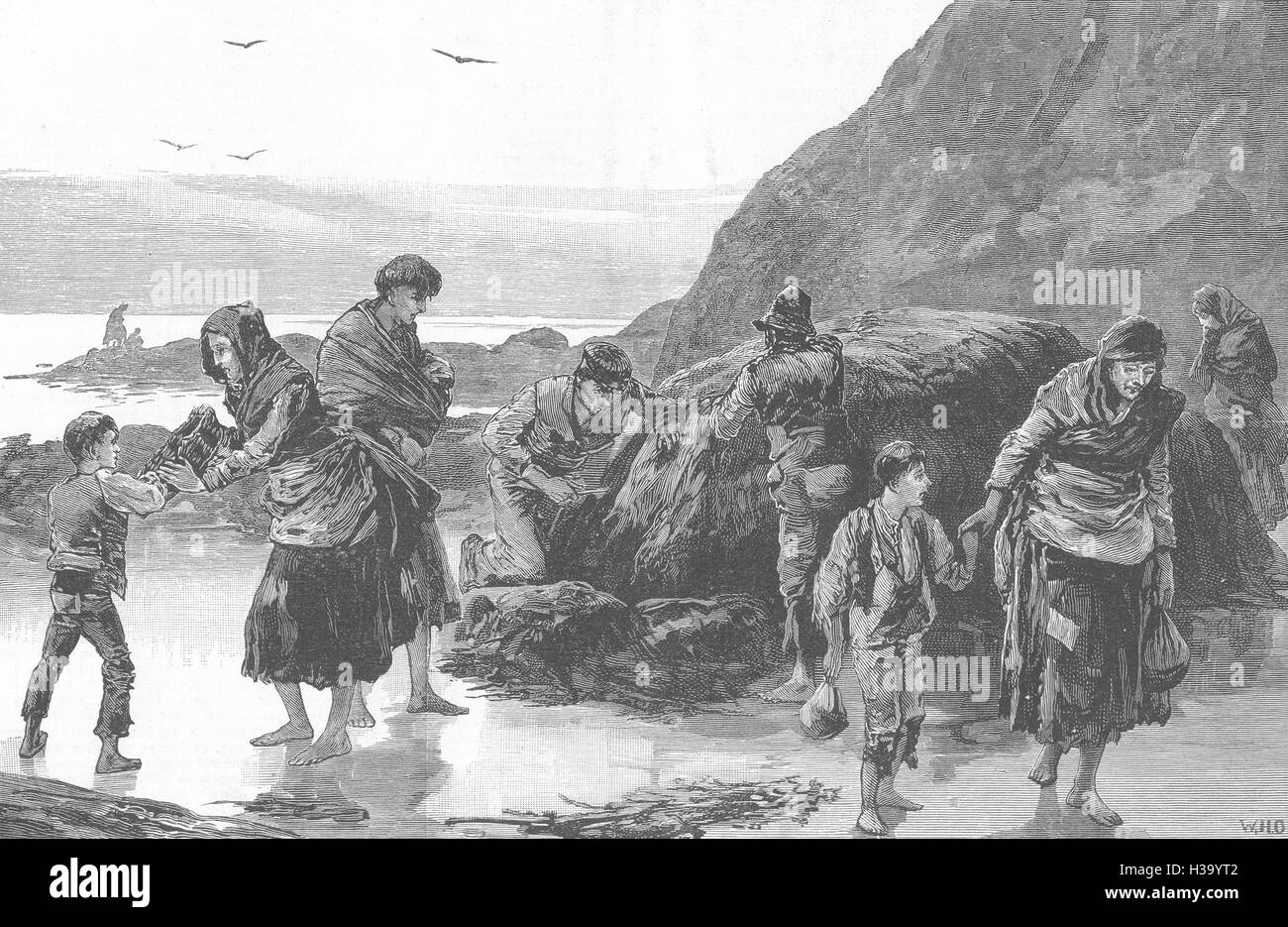 IRELAND Famine Collecting seaweed & limpets for food Inishboffin Island 1886. The Illustrated London News - Stock Image