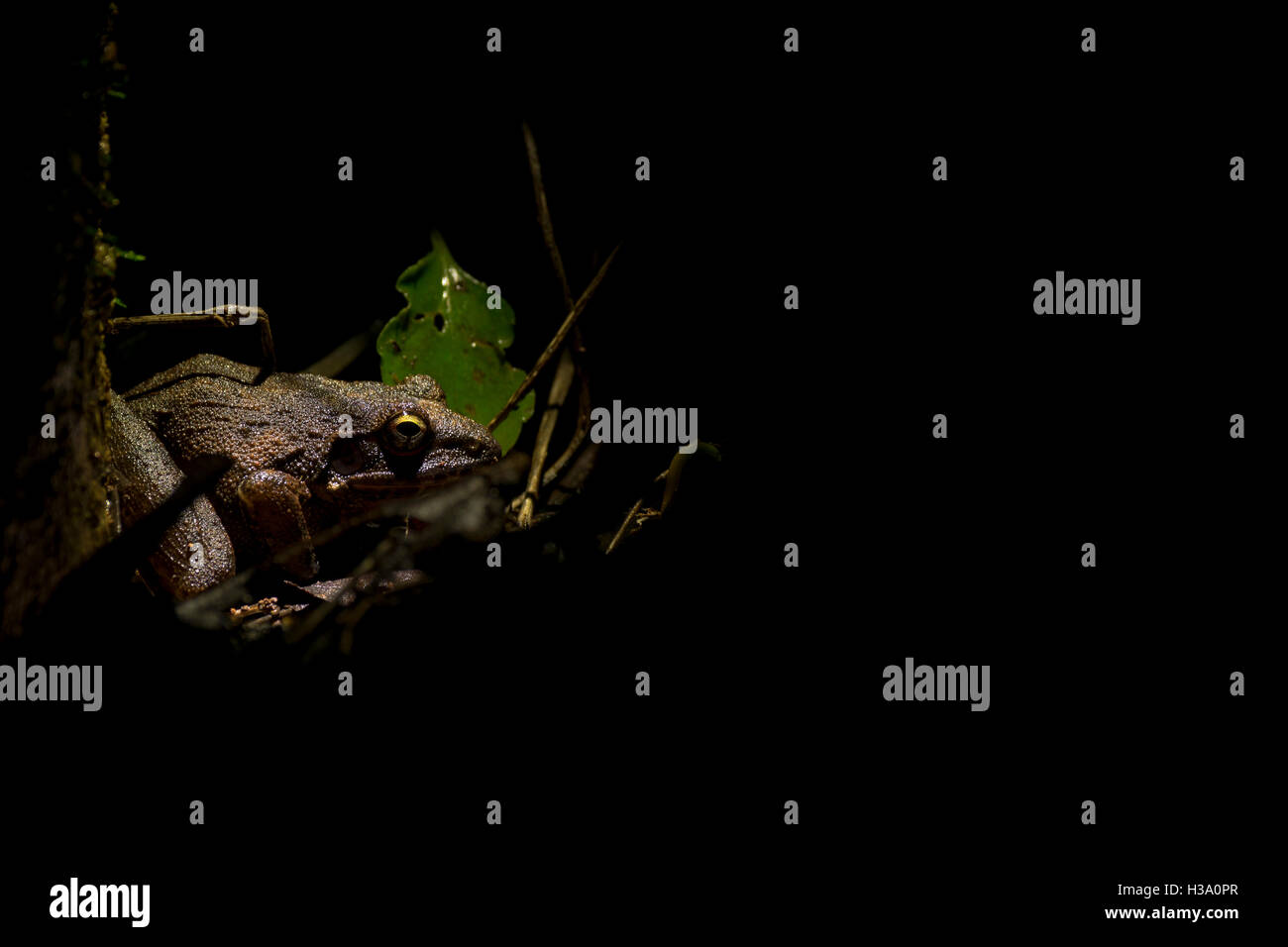 An Amboli leaping frog at home in the undergrowth at night within the hotel grounds of Ogale's Whistling Woods - Stock Image