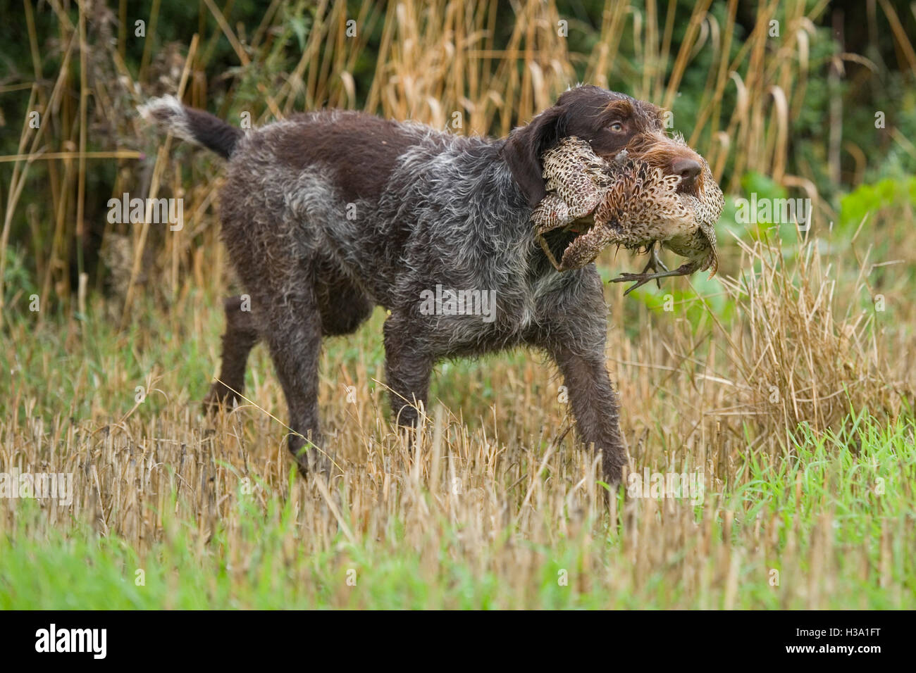 german wirehaired pointer retrieving - Stock Image