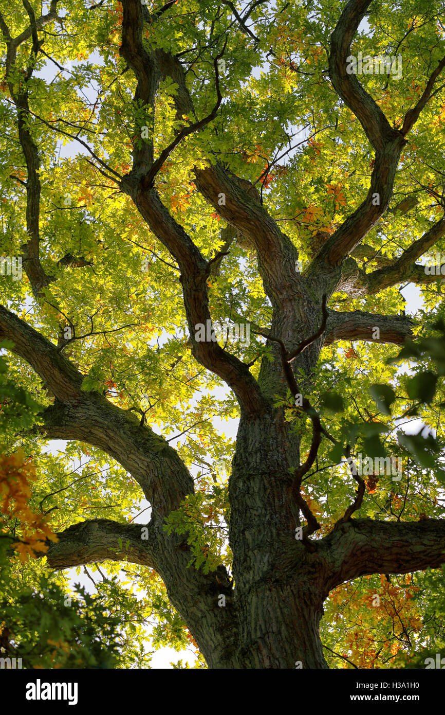 A view looking up at the trunk of an Oak tree into the canopy as the ...