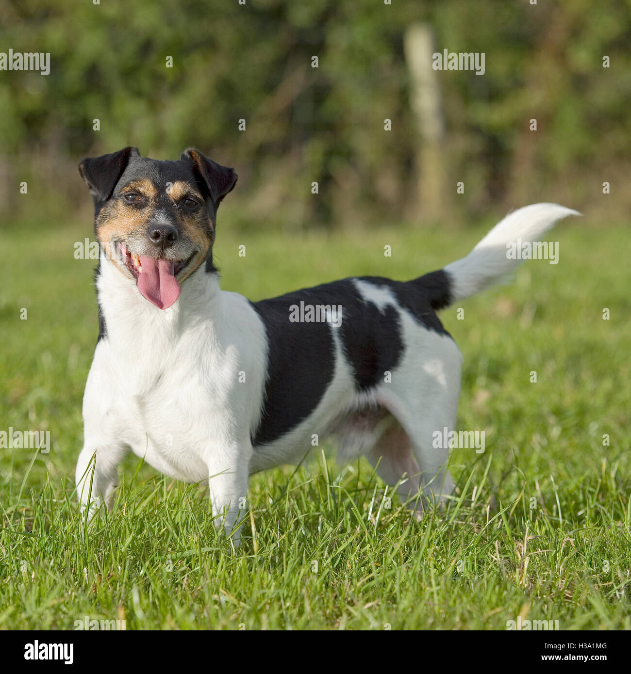 Cross Breed Jack Russell Dog