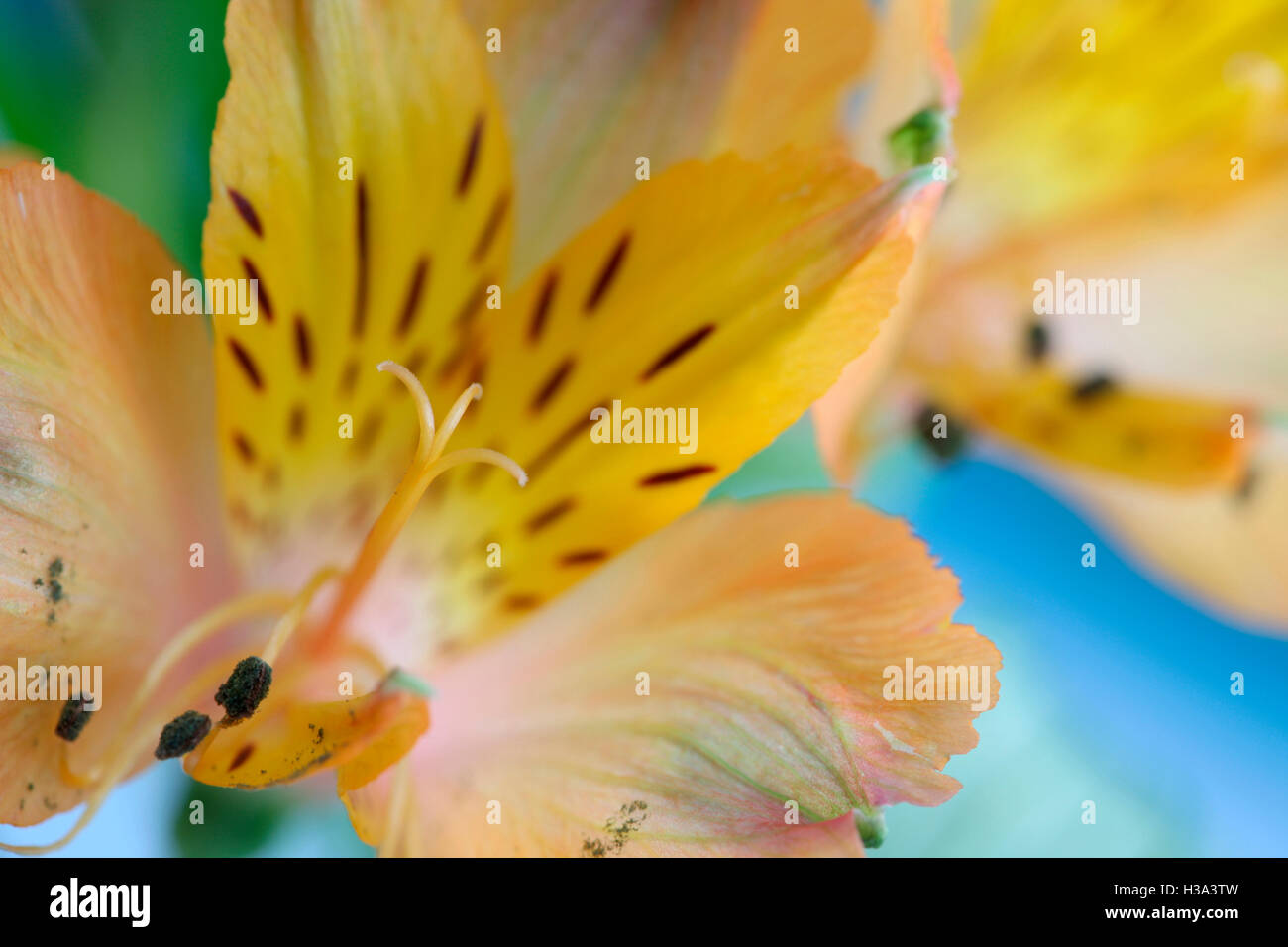 yellow alstroemeria flower symbolizes friendship and devotion Jane Ann Butler Photography JABP1635 - Stock Image