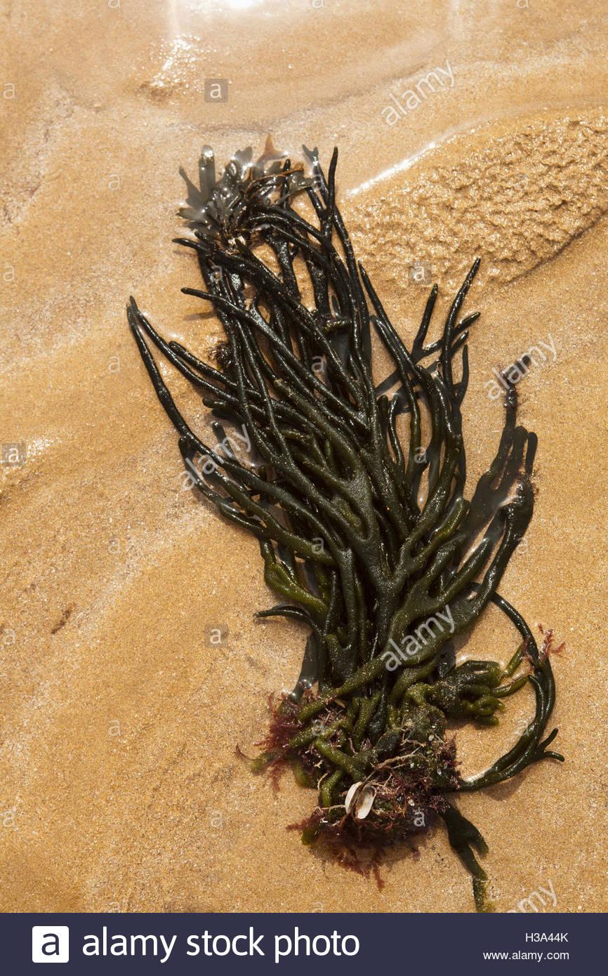 Seaweeds On Beach - Stock Image
