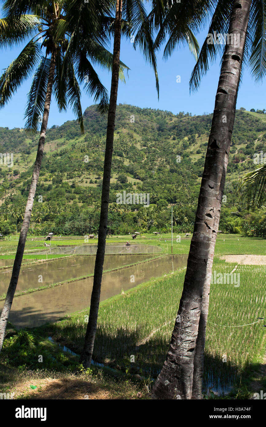 Indonesia, Lombok, Pemenang, irrigated farmland north of Pusuk Pass, being prepared for planting - Stock Image